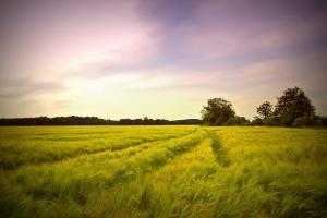 Perspective pentru  piața mondială a grâului