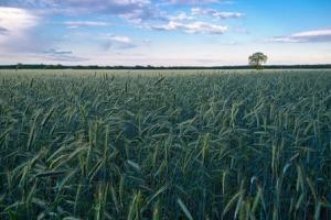 Deprecierea dolarului poate fi benefică pentru piața cerealelor