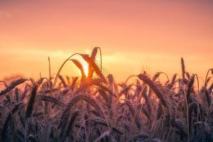 Producătorii români de cereale și comerțul de la Marea Negră